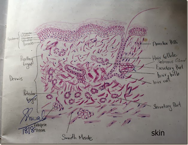 skin  high resolution histology diagram