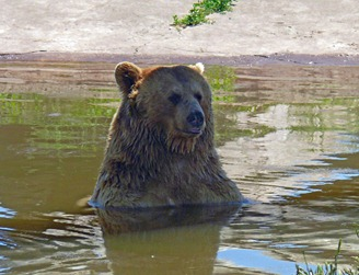 Bear Relaxing in Water