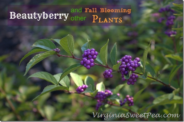 Beautyberry and Other Fall Blooming Plants