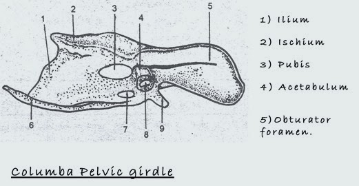 bird-pelvic-girdle
