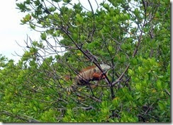 Iguana in the mangrove at Curry Hammock SP