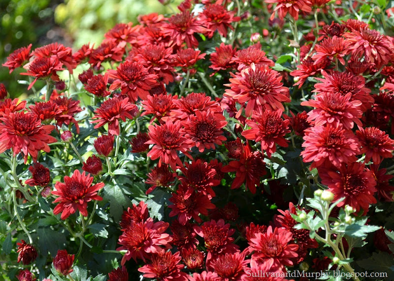 red mums