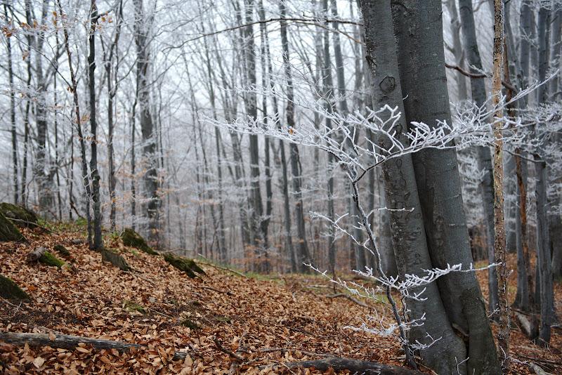 Copacelul de argint.