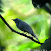 Rufous-winged Philentoma-04.jpg