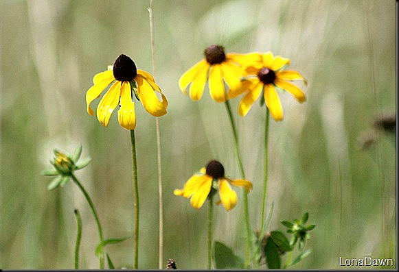 RL_Brownhead_Coneflower2