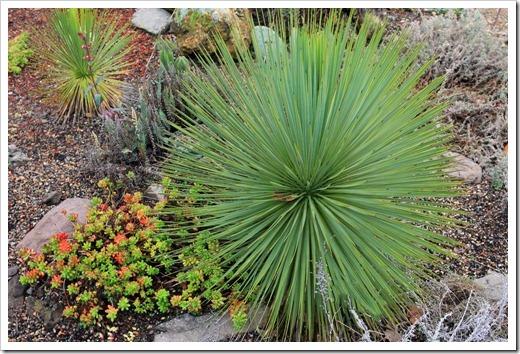 121228_UCBotGarden_Yucca-thompsoniana_01