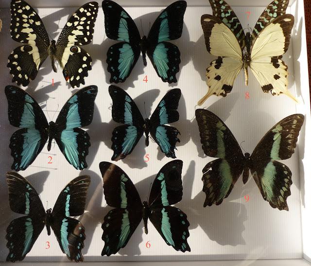 Papilionidae (1) d'Ebogo (Cameroun), avril 2013. Coll. et photo : M. Debary1. Papilio demodocus demodocus ; 2. P. chrapkowskoides ; 3. P. nireus nireus, mâle ; 4. P. sosia pulchra ; 5. P. chrapkowskoides ; 6. P. nireus nireus, mâle ; 7. Graphium antheus ; 8. P. dardanus, mâle ; 9. P. nireus nireus, femelle.