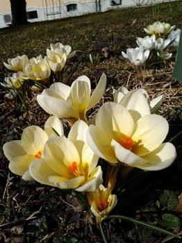Crocus chrysanthus 'Cream Beauty'. bägarkrokus