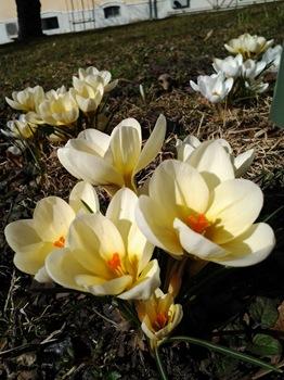 Crocus chrysanthus 'Cream Beauty'. bägarkrokus