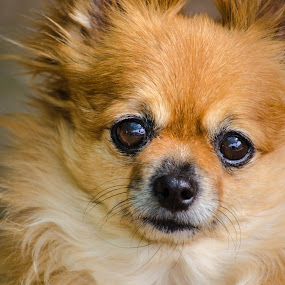 My Little Dog by Diane Flynn - Animals - Dogs Portraits ( chihuahua, cute, dog, pomeranian )