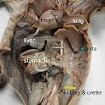 fetal_pig_dorsal_aorta.JPG