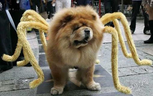 Чау-чау в костюме паука