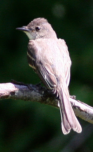 8-22-09, Minor Clark Fish Hatchery, juvenile Eastern Wood-Pewee