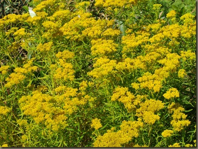goldenrod at beach by NAS Key west from geiger key marina