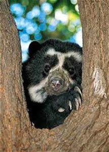 Amazing Pictures of Animals, Photo, Nature, Incredibel, Funny, Zoo, Spectacled bear, Tremarctos ornatus, Mammals, Alex (9)