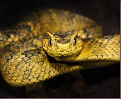 Amazing Animals Pictures The Bush Viper (5)