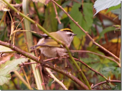 Gold Crown Kinglet
