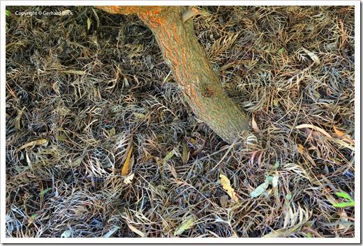 131124_UCD_Arboretum_AustralianCollection_Grevillea-Masons-Hybrid_01