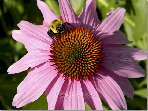 Day #79 Coneflower and the Bumblebee