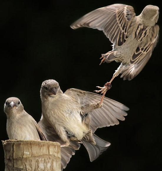 kung-fu-sparrows_1905557i