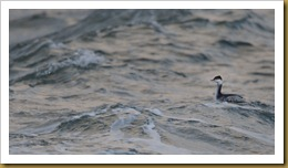 Horned Grebe riding the Waves