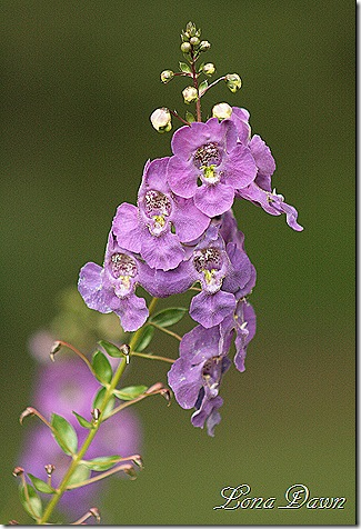 Angelonia_Aug
