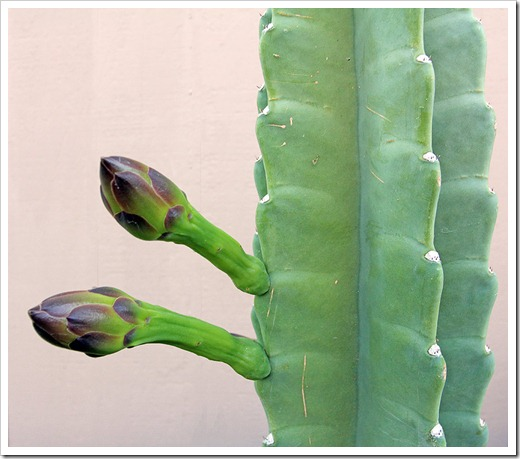 110811_Cereus-hildmannianus-susp