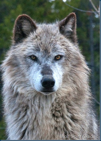Wolf-Spirit Guides