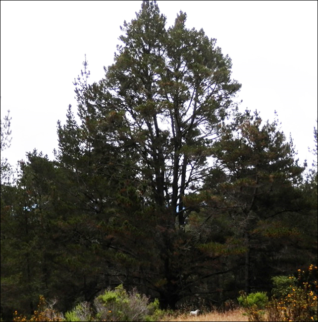 National Champion Monterey Pine (Pinus radiata). This tree, found in Jack's Peak Park, was nominated by Alan Washburn in 2014. It measures 89 feet high, with a trunk circumference of 220 inches and a crown spread of 64 feet. Photo: CalPoly