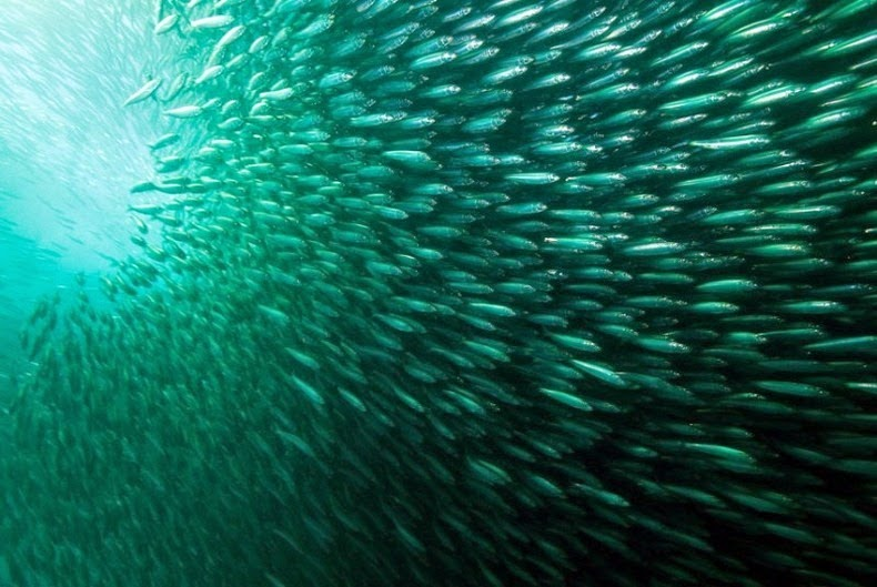 sardines-run-2