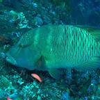 Napoleon-Fisch, Komodo