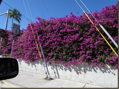 bouganvilla along road