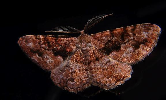 Geometridae : Ennominae : Boarmiini : Gastrinodes bitaeniaria LE GUILLOU, 1841, mâle. Umina Beach (NSW, Australie), 3 octobre 2011. Photo : Barbara Kedzierski