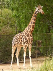 girafe de Rotschild