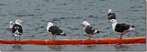 great and lesser blackback gulls Feb 2014
