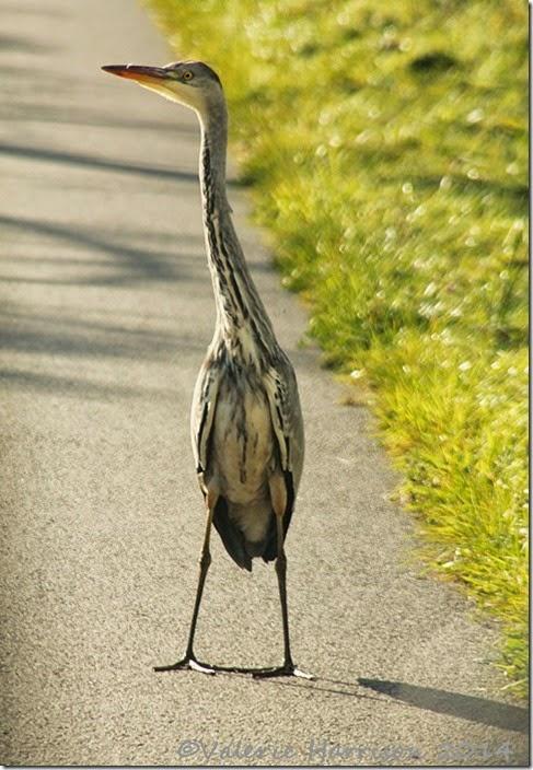 36-heron