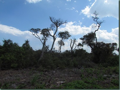 dead trees Jonathan Dickenson State Park