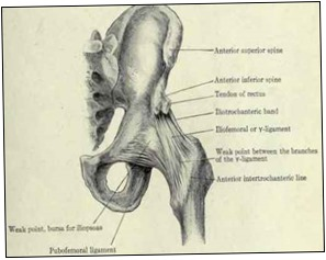 Fig-509-Anterior-view-of-the-ligaments-of-the-hip-joint