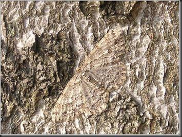geometer_moth (1)