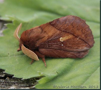 Drinker-Moth-1