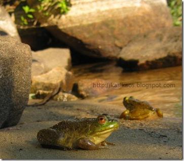 green-frog72