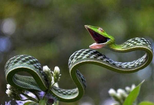 2- A cobra-cipó