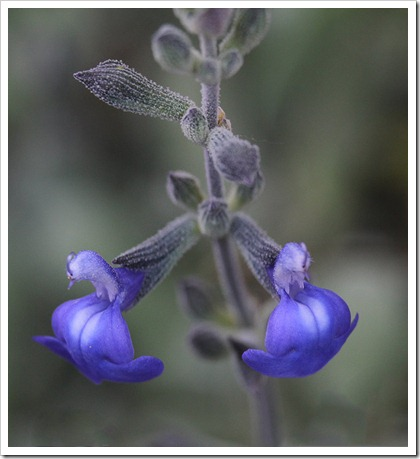 110523_salvia_chamaedryoides_01