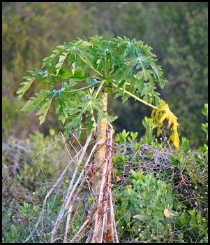 10a - Wild Papaya
