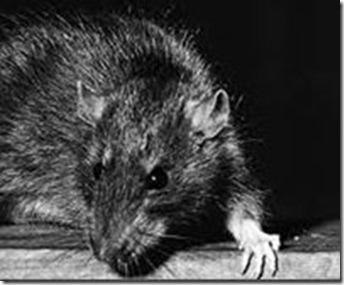 rat#1