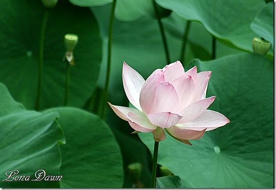 LF_Pink_Lotus2