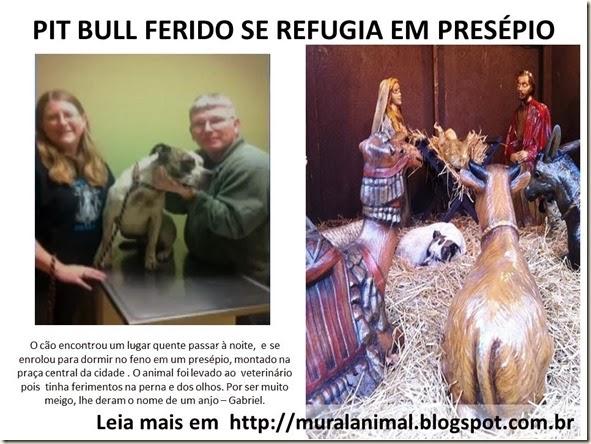PIT BULL FERIDO SE REFUGIA EM PRESÉPIO