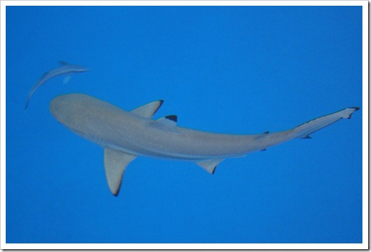 Shark and Remora