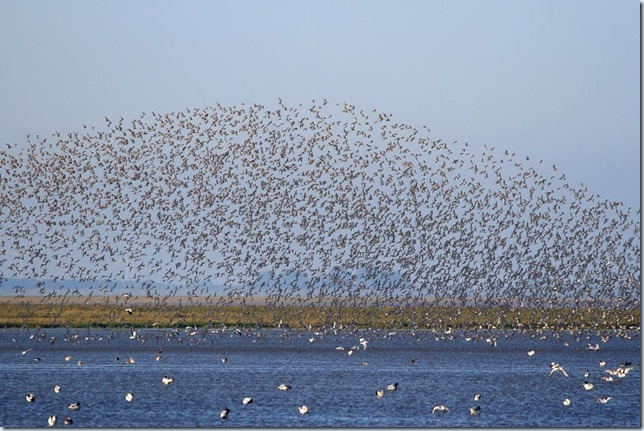 Snettisham_waders_smaller-2