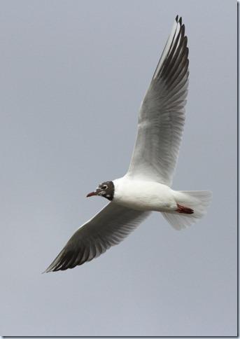 bl-h-gull